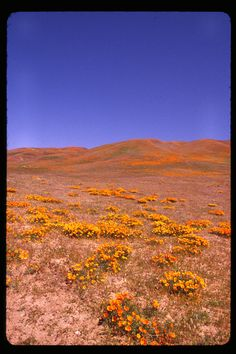 California poppies on the hills of Gorman. [LA Times, Readers' photos of wildflowers ' gorman poppies' (georges1); Date Taken: 04/20/2011]