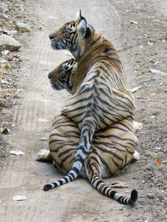 "funnywildlife: "" Bengal Tiger Metro, India #SaveTheTiger """
