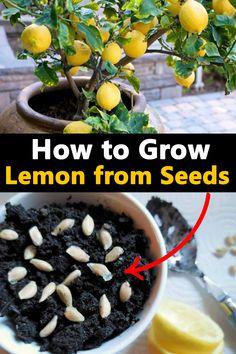 Planting Lemon Seeds, Lemon Seeds Grow, How To Grow Seeds, Lemon Plant From Seeds, How To Grow Plants, Planting Flowers From Seeds, Regrow Vegetables, Container Gardening Vegetables, How To Grow Vegetables