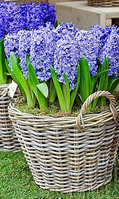 Blue hyacinth in rattan baskets  plant bulbs in fall for spring bloom..CountdowntoSpring☚