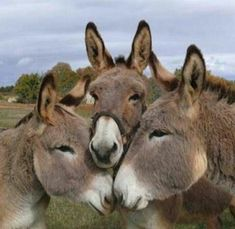 It's the donkey huddle. What moves are coming next? Cute Baby Animals, Farm Animals, Animals And Pets, Funny Animals, Wild Animals, Beautiful Horses, Animals Beautiful, Cute Donkey, Mini Donkey