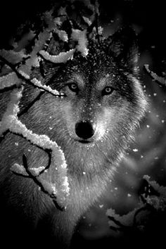 Wolf in snow - Look into the eyes