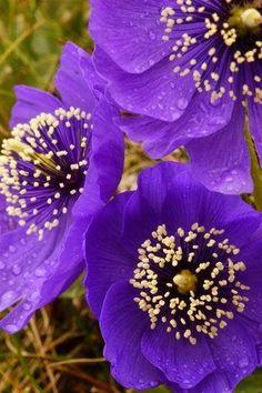 Purple poppies.