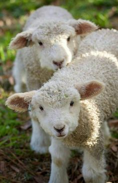 faces so sweet … – Nutztiere Cute Baby Animals, Animals And Pets, Funny Animals, Happy Animals, Cabras Animal, Beautiful Creatures, Animals Beautiful, Babydoll Sheep, Cute Sheep