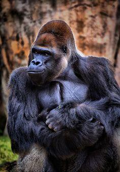 Mountain gorilla -- critically endangered