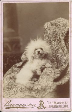 c.1880s cabinet card of white, unclipped poodle. Photo by Baumgardner, 38 S. Market St., Springfield, O. From bendale collection