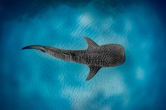Private Whale Shark or Humpback Whale Swimming Tour Whale Shark Tattoo, Shark Tattoos, Underwater Animals, Underwater Creatures, Underwater Photography, Animal Photography, Shark Drawing, Shark Facts, Swimming With Whale Sharks