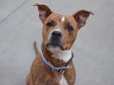 SAFE 7-1-2015 --- Brooklyn Center BONNIE – A1040655  FEMALE, CRM TIGER / BROWN, PIT BULL MIX, 1 yr STRAY – STRAY WAIT, NO HOLD Reason STRAY Intake condition EXAM REQ Intake Date 06/19/2015
