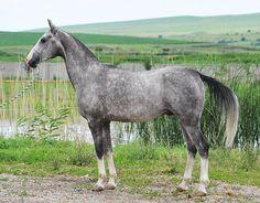 Dargo (Dagomys 9 - Alpina) l. męska: Kaplan - akhal-teke stallion - photo from www.horsekavkaz.ru