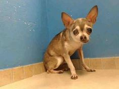 ((SUPER URGENT)) DEATH ROW  Senior girl (approx 12 yrs old)  FELICIA - A0984563 needs your help. I'm an unaltered female, brown & white Chihuahua - Smooth Coated mix. I only weigh 4 pounds. I was found in NY 11236. PLEASE HELP SHARE/ SAVE/ RESCUE THIS SCARED, SAD LITTLE GIRL. Time is running out quickly & she's in a High Kill shelter.
