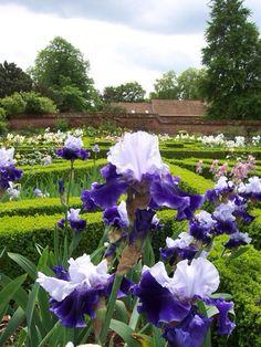 Doddington irises
