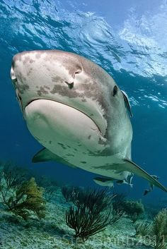 grumpy tiger shark is not amused by your shenanigans Underwater Creatures, Underwater Life, Ocean Creatures, Underwater Photos, Orcas, Save The Sharks, Beluga, Life Under The Sea, Beneath The Sea