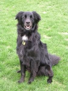 Dog profile for Hayle, a female Flat-coated Retriever/Border Collie Flat Coated Retriever, Border Collie Mix, Dogs Of The World, Dog Behavior, Best Dogs, Dog Breeds, Dog Lovers, Cocoa Puffs, Black Dogs