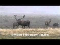 The most iconic behavior during the deer rut is probably the stag roaring. They roar to warn off rival males. To discover more about photographing red deer g. Deer Rut, Deer Photography, Red Deer, Mists, Behavior, Moose Art, Animals, Behance, Animales