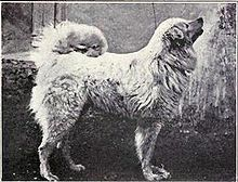 The Pastore Maremmano Abruzzese, Maremma Sheepdog, originated in Italy where it has been used for many centuries as a flock guardian for sheep and goats. Black And White Dog, White Dogs, Bichon Poodle Mix, Pet Dogs, Dogs And Puppies, D Is For Dog, Maremma Sheepdog, Vintage Dog, Hunting Dogs