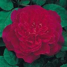 Category English Roses     (English Rose Collection)   Bred By David Austin   Color Light Red   Flower Type Double/Full Bloom   Size Medium Shrub     Hardiness Hardy   Fragrance Tea  Light    Repeating Good   Special Characteristics Stays short in warm climates.
