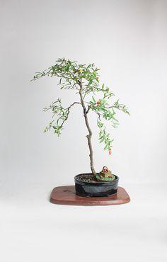 "Dwarf Pomegranate Bonsai tree ""Summer'16 Fruiting Collection by LiveBonsaiTree"" by LiveBonsaiTree on Etsy"