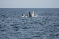 White Killer Whale: Scientists Prepare To Find 'Iceberg,' Thought To Be Albino Orca (VIDEO)