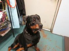 #OREGON ~ Rhett is Neutered Rottweiler mix who IS NOT avail for #adoption at this time -  CITY of EUGENE SHELTER 3970 W 1st Ave  #Eugene OR 97402 1stavenue@green-hill.org Ph 541-844-1777