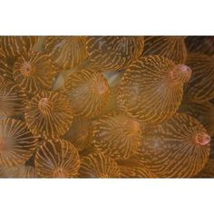 A bulbed anemone grows on a reef in Komodo National Park Indonesia Canvas Art - Ethan DanielsStocktrek Images (17 x 12)