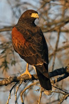 Harris Hawk - has been on our street and was in our back yard today.  Awesome red breast!  1/14