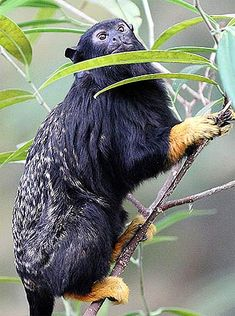 Red-Handed Tamarin - From Brazil, Suriname, Venezuela, Guyana and other wooded areas north of the Amazon River.