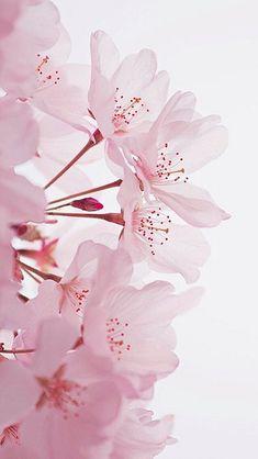 ✧ ☼ pinterest : kiafornia flowers sakura flower of emotion Flower Backgrounds, Wallpaper Backgrounds, Iphone Wallpaper, Flower Aesthetic, Pink Aesthetic, Pink Wallpaper, Flower Wallpaper, Notebook Rosa, Flame In The Mist