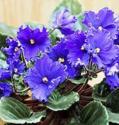 6 Key Tips to Grow Perfect African Violets #houseplant