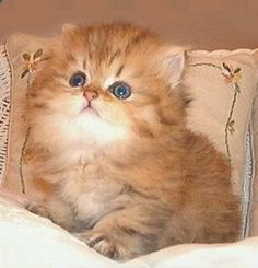 Cute Persian kitty Not a cat person, but totally would get one of these for Ameerah:)  she loves cats!