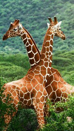 Giraffe Light Switch Cover, Giraffes Light Switch Plate, Animal Plate Cover, Giraffe Lover, Animal L Wild Life, Wildlife Photography, Animal Photography, Beautiful Creatures, Animals Beautiful, Animals And Pets, Cute Animals, Wild Animals, Baby Animals