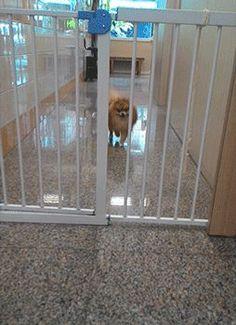 Pomeranian coming to say hello