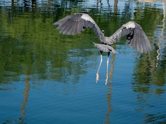 Escaping Blue Heron