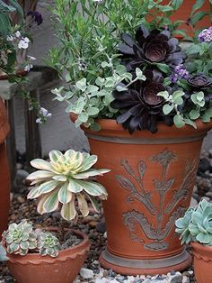 Whichford Pottery make some stunning pots and are experts at finding interesting things to plant in them. The Aeoniums look wonderful in pots. The aubergine-black one is called 'Zwartkop'. Go and see for yourselves at their potteries in Whichford Village in Warwickshire.