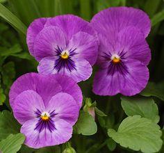 Pansy Viola x wittrockiana Purple Cultivar Flowers