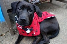 ARETHA - A1100123 - - Manhattan  Please Share:TO BE DESTROYED 12/29/16 A volunteer writes: Perhaps named after the Queen of Soul, Aretha Franklin, our Aretha is looking for her share of R E S P E C T! And she'll get it, as she's beyond gorgeous, so sweet, her coat shines with apparent good care, she seems to be housetrained, and pulls on the leash in her happiness at being out for a walk. A bouncy, happy, puppy-pulling…a happy pulling that makes you smile