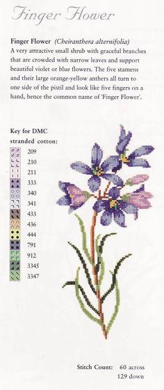 cheiranthera alternifolia  1