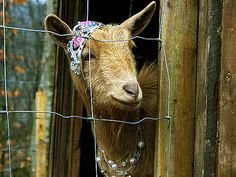 my goats will wear tiaras, too - but who has my earrings? - someone is going down