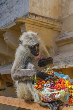 Monkey Amber Fort Jaipur Rajasthan India Canvas Print / Canvas Art by Tom…