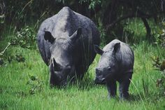 Mother and calf Rhino Africa, Earth Homes, Uganda, South Africa, Beautiful Places, Instagram Posts, Animals, Animaux, Animal