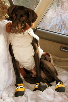 Henry German Shorthaired Pointer got cold