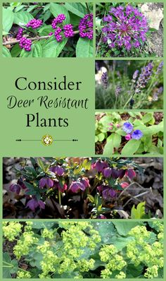 Consider Deer Resistant Plants This post onDeer Resistant Plants is a guest blogger submission. So many of us have problems with deer, ground hogs and other creatures eating our beloved garden pla…