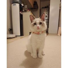 だいぶおっきくなったなー\( ˆoˆ )/ #cat #ragdoll #ragdollcat #ragdollcats #japan #fukuoka #catstagram #kitty #cute #love #instacat #ilovecat #cute #animal #neko #ラグドール #ねこ #猫 #子猫 #猫部pearlxmi2016/03/09 04:36:25