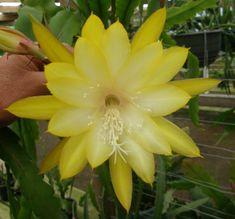 Epiphyllum KIWI HONEY GEM