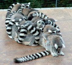 Lemur Huddle