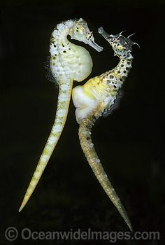male and seahorse The process of seahorse reproduction is very interesting studies show that the males and females will court for several days during that period of time they.