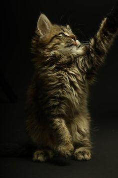 Cotier Katzenmodel im Oktober - Merlin