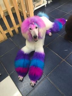 Funky groom by Evelyn Maria Moraga Rojas😎 She used OPAWZ Semi-Permanent Dyes on the head and Permanent Dyes on the legs 🌸 Achieve vibrant color in just 20 minutes setting time! Dog Grooming Styles, Pet Grooming, Dog Hair Dye, Goldendoodle Grooming, Poodle Hair, Poodle Cuts, Creative Grooming, Dog Activities, Pet Fashion