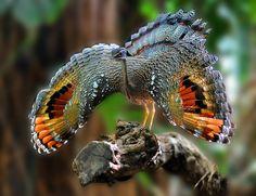 Pavãozinho-do-pará (Eurypyga helias)