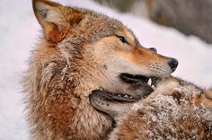 Jaw in jaw with these Mongolian wolves, as the pursuit of dominence continues