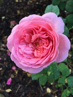 'Princess Alexandra of Kent'   Shrub rose. Bred by David C. H. Austin (United Kingdom, 2002).